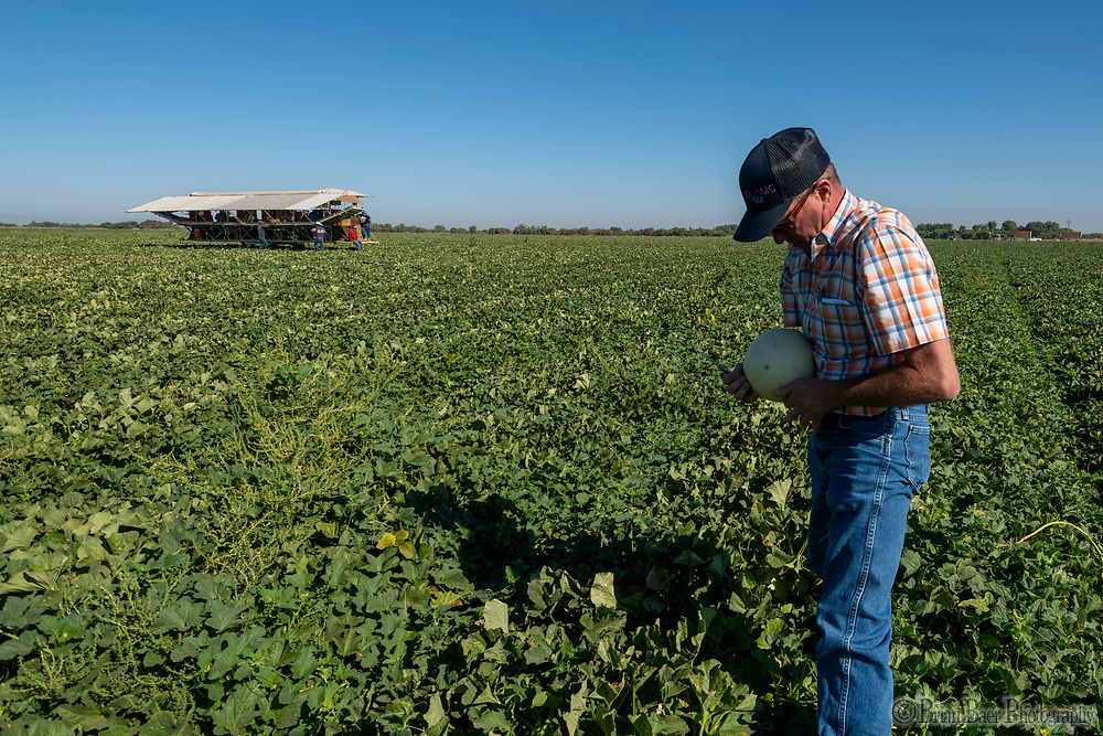 Classic Fruit harvests honeydew melons, Tuesday, August 31, 2021.<br /> Photo Brian Baer