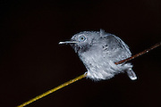 Black-chinned Antbird (Hypocnemoides melanopogon)<br /> Mapari River<br /> Rupununi<br /> GUYANA<br /> South America<br /> RANGE: Subtropical or tropical swamps in Brazil, Colombia, Ecuador, French Guiana, Guyana, Peru, Suriname, and Venezuela.