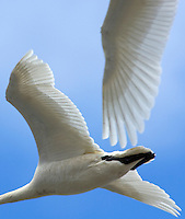 Tight detail of whistling swans, Cygnus columbianus, in flight.