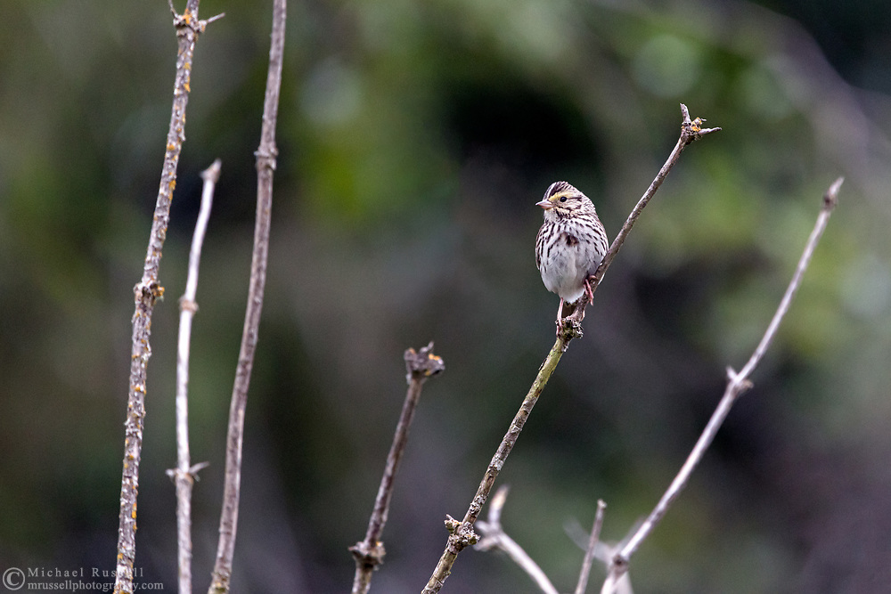 A perched Dwarf Savannah Sparrow (Passerculus sandwichensis ssp. brooksi) at Campbell Valley Park in Langley, British Columbia, Canada.