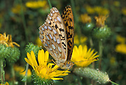 Mountain Fritillary butterfly (Speyeria mormonia)  on The Nature Conservancy's Zumwalt Praire Preserve in NE Oregon. August 2002. This prairie is one of largest surviving tracts of bunchgrass prairie left in North America.
