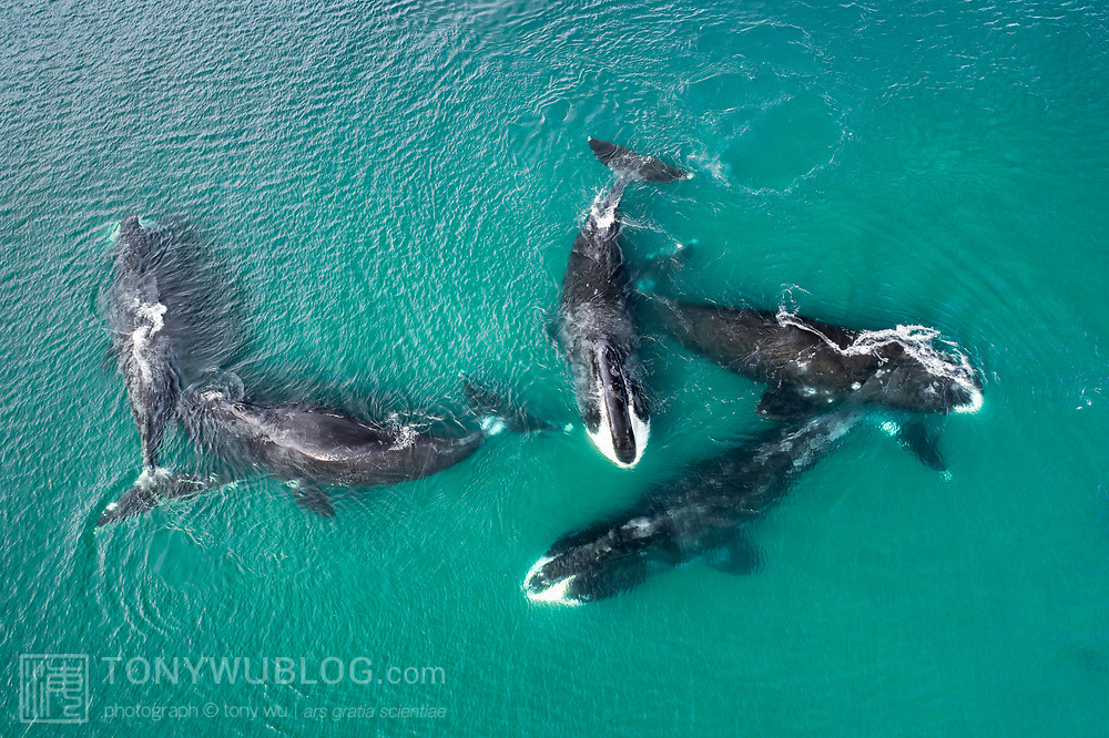 Pictured here are five bowhead whales (Balaena mysticetus) engaged in social activity in extremely shallow water during the summer. These whales are a part of the endangered Sea of Okhotsk subpopulation, with population estimates in the low hundreds. There were well over 50 whales in proximity to one another on this day, perhaps closer to 100. Groups of whales came together and separated, sometimes in shallow areas like this, occasionally in deeper water.