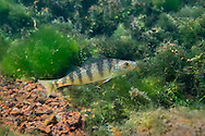 Yellow Perch<br /> <br /> Isaac Szabo/Engbretson Underwater Photo