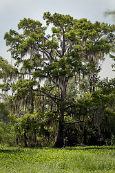 04 June 2015. Jean Lafitte National Historic Park, Louisiana.<br /> A large cypress tree in the swamp at the Barataria Preserve wetlands south of New Orleans.<br /> Photo©; Charlie Varley/varleypix.com