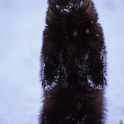 Fisher, (Martes pennanti) Montana. Portrait. Standing upright.   Captive Animal.