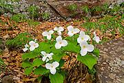 Large-flowered trillium (Trillium grandiflorum); Ontario's floral emblem<br /> Rosseau<br /> Ontario<br /> Canada