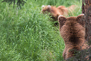A brown bear watches another brown bear in Katmai National Park, Alaska