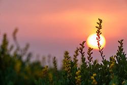Yellow Wild Indigo (Baptisia sphaerocarpa) wildflowers backlit against the setting sun  on the Daphne Prairie, a remnant of the Blackland Prairie, Mount Vernon, Texas, USA.