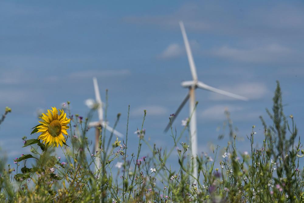 Hochneukirch, DEU, 22.07.2020<br /> <br /> Windraeder und Sonnenblume<br /> <br /> Wind wheels sunflower<br /> <br /> Foto: Bernd Lauter/berndlauter.com