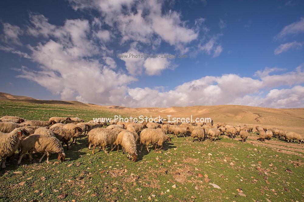 herd of sheep graze in a field of wildflowers Photographed in Israel