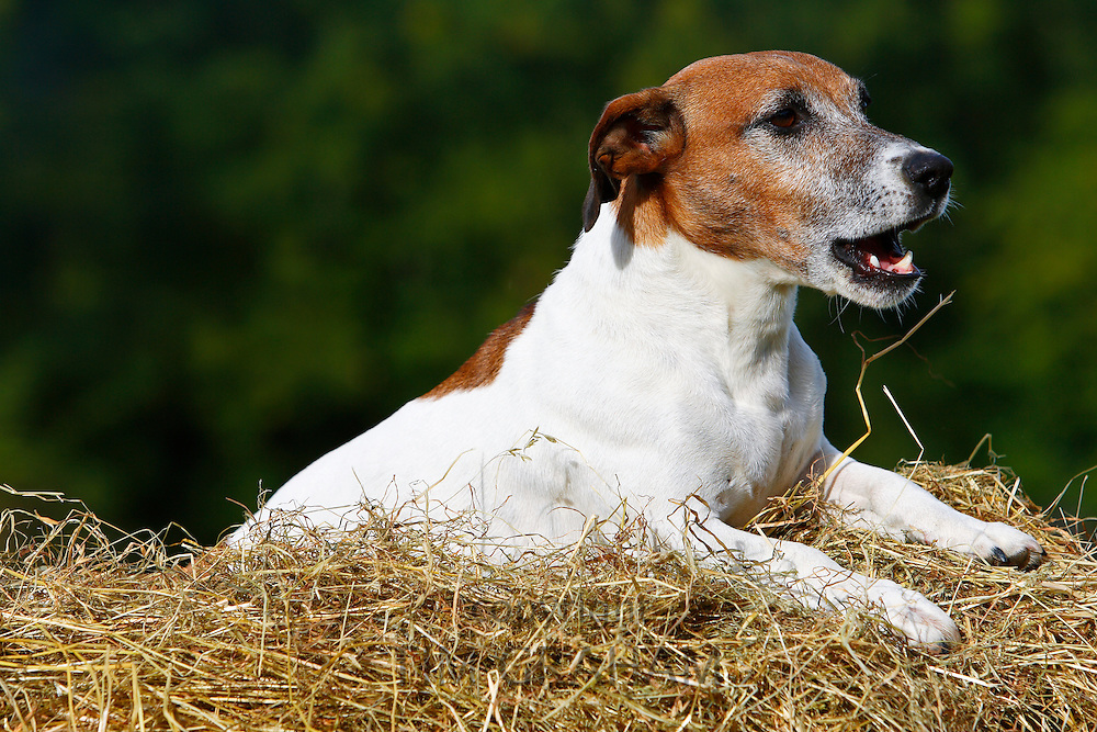 Jack Russell terrier lying on a bed of hay, England, United Kingdom