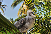 baby red footed booby bird portrait