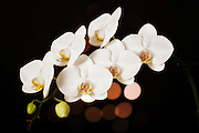 USA, Oregon, Keizer, hybrid orchid.