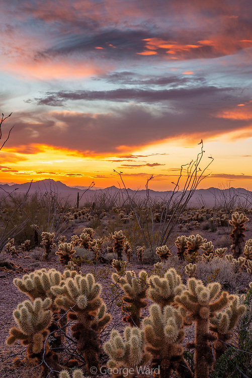 Cholla and Sunset Sky, Kofa Wilderness, Kofa National Wildlife Refuge, Yuma County, Arizona
