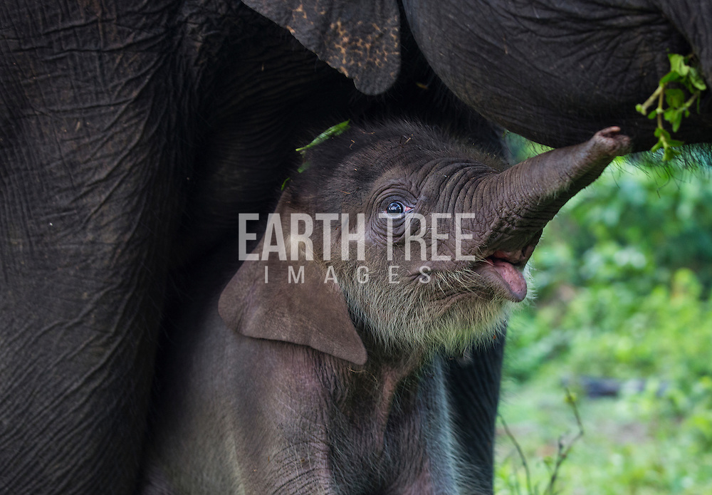 A baby Sumatran elephant is pictured with it's mother in teh Leuser Ecosystem. Photo: Paul Hilton / RAN