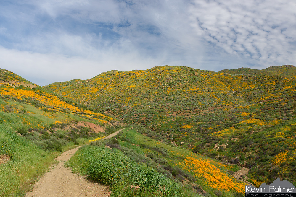 The hills around Lake Elsinore were filled with blooming poppy wildflowers. There were hundreds of people lined up on Walker Canyon Road taking pictures and picking the orange wildflowers.