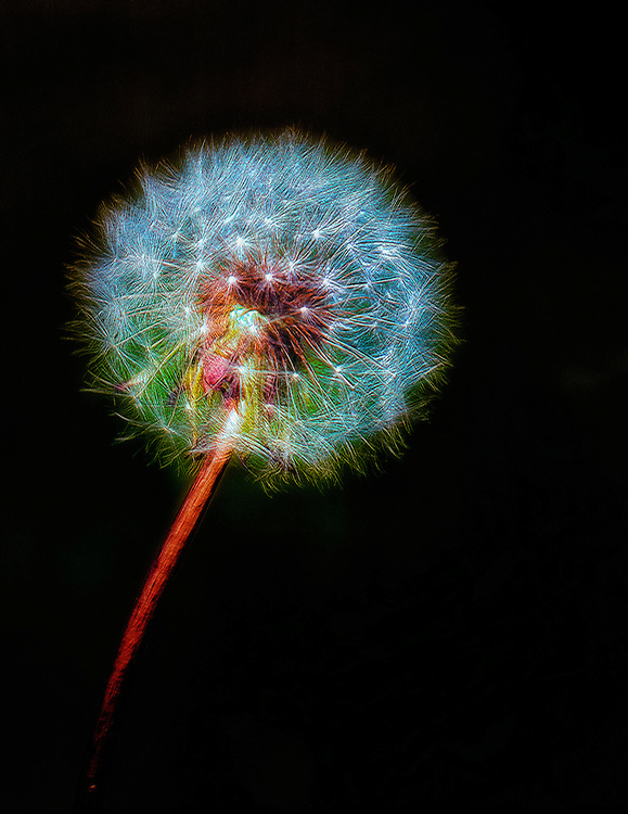 A dandelion fine art composition that highlights the tiny explosion of fireworks and color that can be seen at a macro level. While these weeds are often an annoyance for some in their yard and overlooked, I hope this gives pause to appreciate the beauty they hold, if at least, just for a moment.