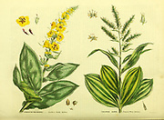 Verbascum phlomoides [Southern Woolly Mullein] Veratrum album [common white Hellebore] from Vol II of the book The universal herbal : or botanical, medical and agricultural dictionary : containing an account of all known plants in the world, arranged according to the Linnean system. Specifying the uses to which they are or may be applied By Thomas Green,  Published in 1816 by Nuttall, Fisher & Co. in Liverpool and Printed at the Caxton Press by H. Fisher