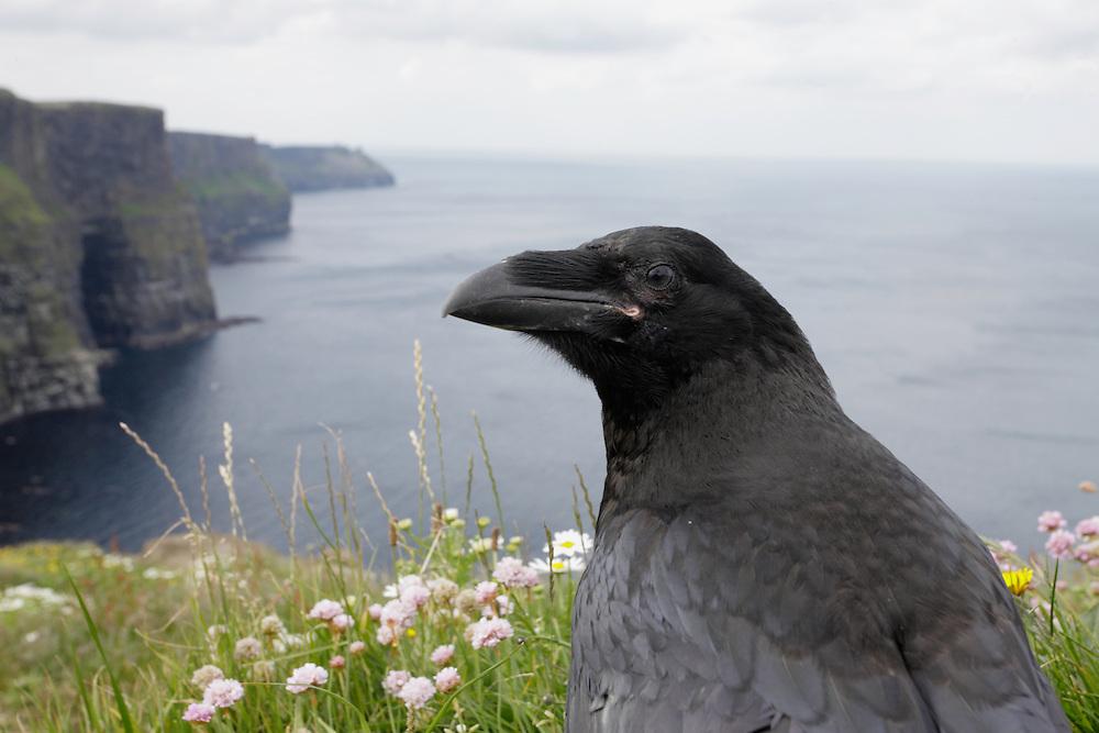 Raven (Corvus corax) Ireland western coast Burren region Cliffs of Moher, wide-angle shot