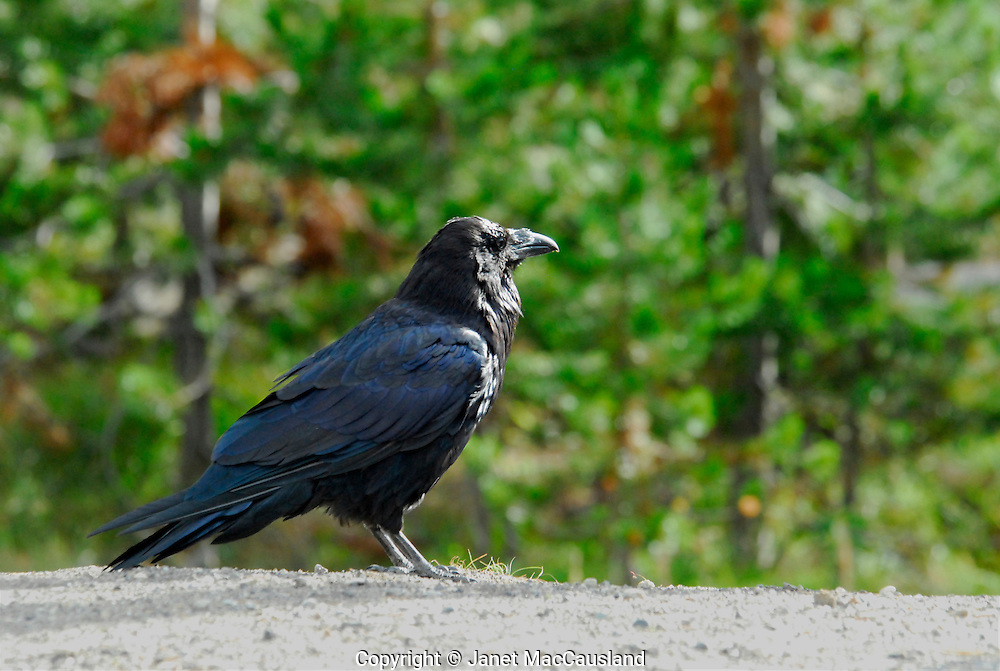 A black and shinny Raven looks into the distant, low sunlight.