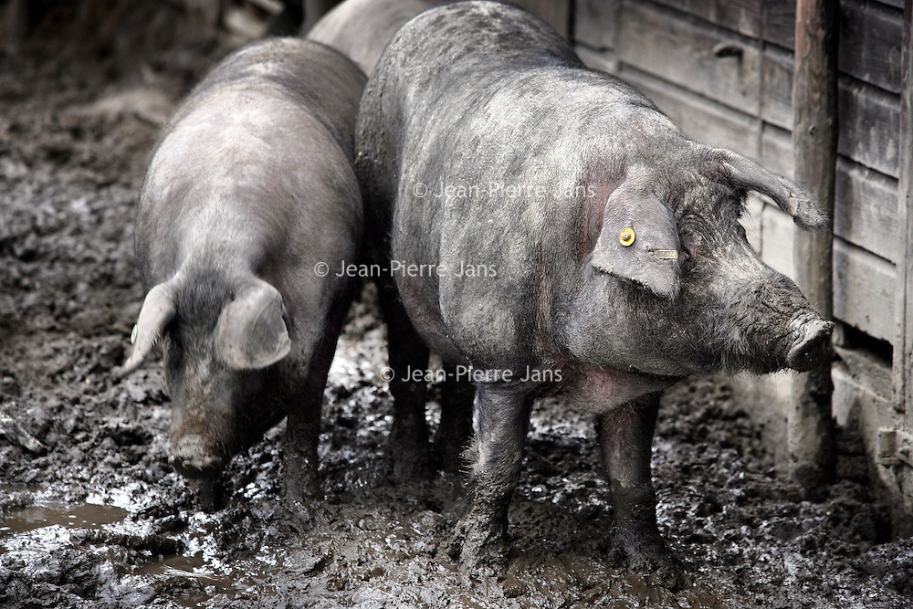 Nederland,Eerbeek ,25 januari 2008..Biologisch gefokte Iberische varkens. Organic bred Iberian pigs.