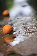 Israel, Citrus Grove, Fallen, wet, ripe Oranges on the ground after rain