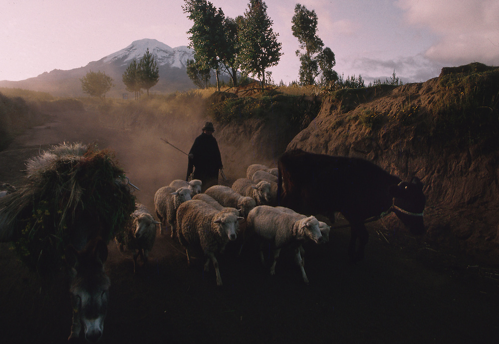 Man herds sheep and cattle , Chimborazo, Ecuador.