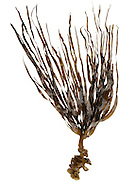 furbellows<br /> Sacchorhiza polyschides