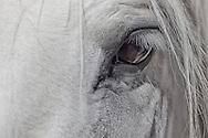 Eye of a white horse.