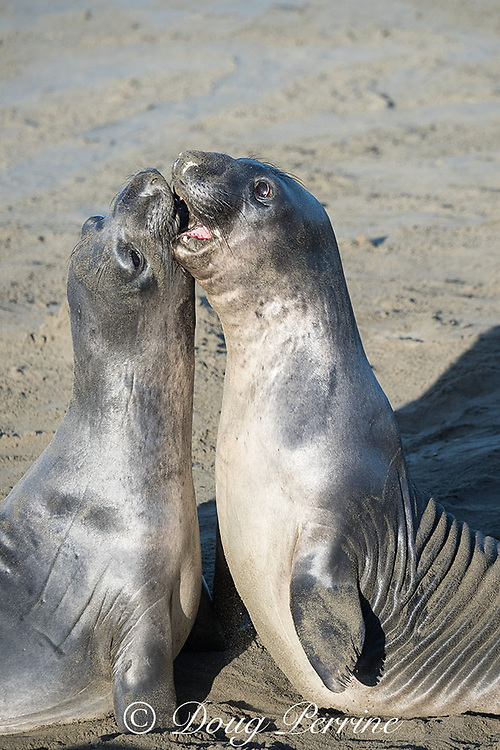 northern elephant seals, Mirounga angustirostris, young males sparring for dominance, practicing for battles for mating rights when they are older, Piedras Blancas, near San Simeon, California, United States ( Eastern Pacific Ocean )