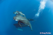 longfin pilot whales, Globicephala melas, with newborn calf, still showing fetal folds, Straits of Gibraltar ( North Atlantic )