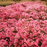 Pink azaleas in bloom during early Spring. Hilton Head Island, South Carolina