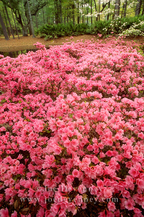 Pink azaleas in bloom during early Spring. Hilton Head Island, South Carolina