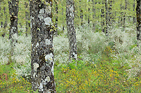 Pyrenean oak (Quercus pyrenaica) and Lygos / Retama monosperma in Sierra de Gata, Salamanca Region, Castilla y León, Spain