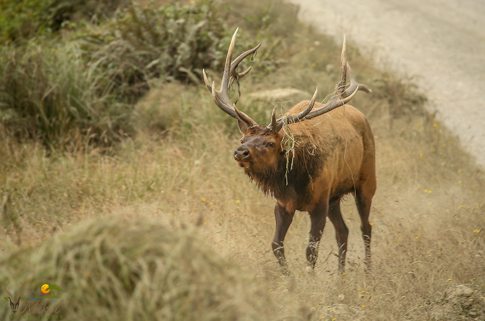 Rutting Bull Elk on the Trail of cows