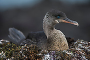Flightless Cormorant (Nannopterum harrisi) on Nest<br /> Espinosa Point<br /> Fernandina Island<br /> Western Isles of Galapagos Islands<br /> Galapagos<br /> Ecuador, South America<br /> ENDEMIC TO GALAPAGOS