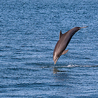 Recess time! A dolphin parent shows off with acrobatic jumps after having school for their baby dolphin. Photo taken from the fishing pier at Sanibel Island, FL.