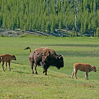 An American Bison (Bison bison) cow and calves graze in a meadow   in Yellowstone National Park, Wyoming.