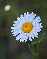 Daisy. Image taken with a Leica TL-2 camera and 55-135 mm lens