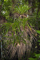 Bromeliads are as common as orchids in the Fakahatchee Strand in Collier County, Florida. These huge West Indian tufted airplants have literally covered this pond apple tree.