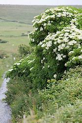 Common Elderflower or Elderberry growing by a roadside in Ireland. Sambucus nigra