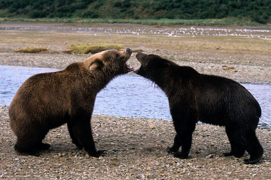 Alaskan Brown Bear, (Ursus middendorffi)  Two large bears mouthng each other before fighting. Katmai National Park. Alaska.
