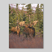 Alaska. Bull Moose courting a cow moose and hoping to mate with her. (Alces alces) in fall.  As well as letting out bellows, the female moose emits a strong odor in order to attract a male to mate. She also secretes a special chemical in her urine which lets the male know that she is ready to mate.