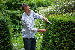 Trimming a yew hedge with hand shears. Taxus baccata