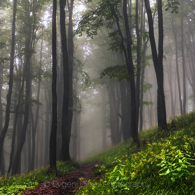 Misty beech forest in Central Balkan NP
