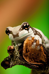 © under license to London News Pictures. 23/09/12. A Amazon Milk Frog. Animals appear to pose for their portrait as part of a photo session in Macro photography at Park Farm in the heart of Knowsley Safari Park in Merseyside. Photo credit should read IAN SCHOFIELD/LNP