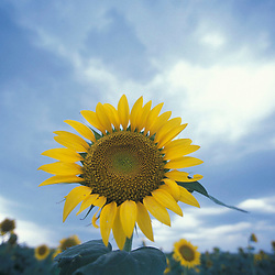 Queen Anne's County, MD..A field of sunflowers and storm clouds at Chino Farms.  Planted to provide food for birds, especially mourning doves.