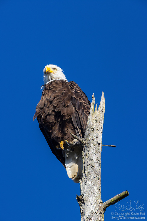 A bald eagle (Haliaeetus leucocephalus) hunts from its perch atop a weathered snag on Spencer Island near Everett, Washington.