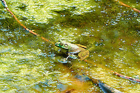 Bullfrog in a Pond at the Sourland Mountain Preserve. Summer Nature in New Jersey. Image taken with a Nikon 1 V1 + FT1 + 70-300 mm VR lens (ISO 200, 100 mm, f/5.6, 1/320 sec) and monopod. [FOV Equivalent to ~ 270 mm on a 35 mm image sensor]
