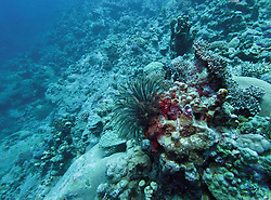 A Featherstar clings to a coral lump at Mermaid Reef.